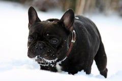 Perro francés del toro en nieve Imagen de archivo libre de regalías