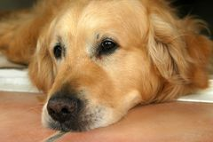 Perro G_5365. Photo of a sad, bored golden retriever stock photo