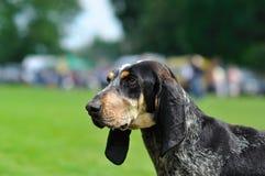 Perro. Gascon azul grande Imagen de archivo libre de regalías
