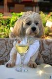 Perro gastrónomo con el vino blanco Imagenes de archivo