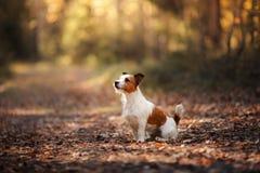 Perro Gato Russel foto de archivo libre de regalías