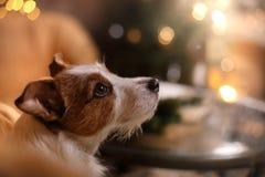 Perro Gato Russel Feliz Año Nuevo, la Navidad, animal doméstico en el cuarto el árbol de navidad Imagenes de archivo