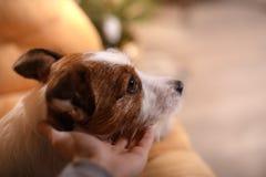 Perro Gato Russel Feliz Año Nuevo, la Navidad, animal doméstico en el cuarto el árbol de navidad Fotos de archivo libres de regalías