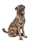 Perro gigante hermoso de la raza Imágenes de archivo libres de regalías