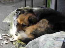 Perro gitano pobre que descansa por el sol de la mañana, Croacia Fotografía de archivo