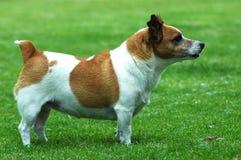 Perro gordo Fotos de archivo libres de regalías