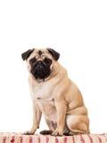 Perro gordo Imagen de archivo libre de regalías
