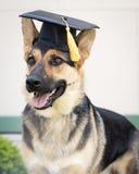 Perro graduado Fotografía de archivo
