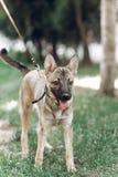 Perro grande adorable en un paseo con su dueño, mongre lindo del marrón del ojo Foto de archivo libre de regalías