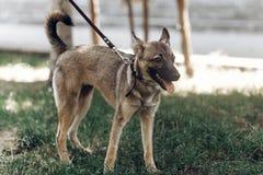 Perro grande adorable en un paseo con su dueño, mongre lindo del marrón del ojo Foto de archivo