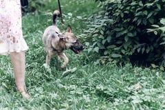 Perro grande adorable en un paseo con su dueño, mongre lindo del marrón del ojo Fotos de archivo