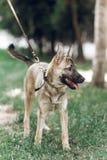 Perro grande adorable en un paseo con su dueño, mongre lindo del marrón del ojo Fotografía de archivo