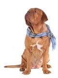 Perro grande con la bufanda Foto de archivo libre de regalías