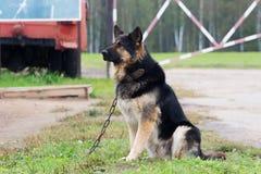 Perro grande en el guardia de cadena Imágenes de archivo libres de regalías