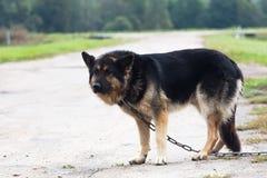Perro grande en el guardia de cadena Imagen de archivo