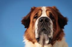 Perro grande en un fondo del cielo azul Fotos de archivo libres de regalías