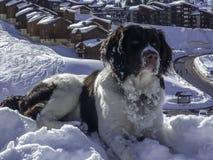 Perro grande que goza de la nieve en las montañas Imagen de archivo