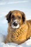 Perro grande que juega en la nieve Imagen de archivo libre de regalías