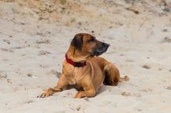 Perro grande que pone en la playa de la arena Imagen de archivo