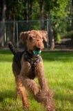 Perro grande que se ejecuta con la bola azul en boca Foto de archivo