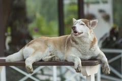 Perro grande soñoliento Imágenes de archivo libres de regalías