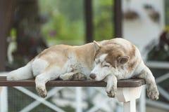 Perro grande soñoliento Fotografía de archivo