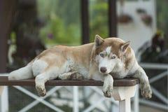 Perro grande soñoliento Fotos de archivo libres de regalías