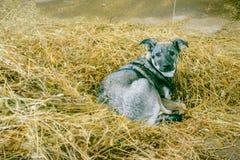 Perro gris en el heno fotos de archivo
