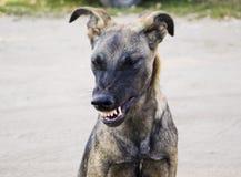 Perro gris enojado con los dientes agudos Fotos de archivo libres de regalías