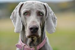 Perro gris hermoso que le mira Foto de archivo