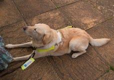 Perro guía en los pies del controlador Imagen de archivo