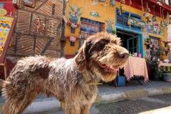 Perro guía viejo del pueblo Fotos de archivo libres de regalías