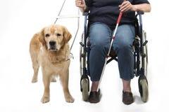 Perro guía y silla de ruedas aislados en blanco Fotografía de archivo