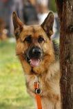 Perro guardián alemán Fotos de archivo