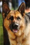 Perro guardián alemán con el collar de cadena Foto de archivo libre de regalías