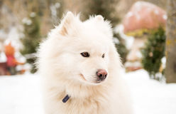 Perro guardián blanco en la yarda imágenes de archivo libres de regalías