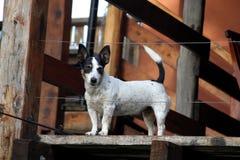 Perro guardián de Jack Russell Imagen de archivo