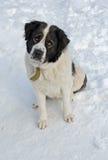 Perro guardián de Moscú que se sienta en la nieve Foto de archivo libre de regalías