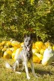 Perro guardián en jardín contra las calabazas de la cosecha Foto de archivo