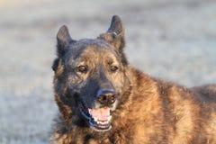 Perro guardián holandés de Dog del pastor en alarma Imagen de archivo