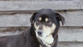 Perro guardián viejo de la yarda en una cadena almacen de video