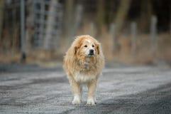 Perro guardián viejo en el camino en día gris fotos de archivo
