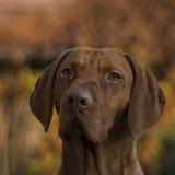 Perro húngaro de Vizsla Fotos de archivo libres de regalías