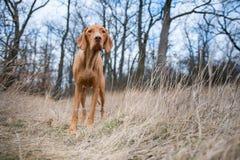 Perro húngaro del indicador en campo del invierno Fotos de archivo libres de regalías