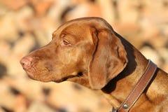 Perro húngaro del pointin Imagenes de archivo