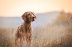 Perro húngaro del vizsla del indicador del perro en tiempo del otoño en el campo Imagen de archivo