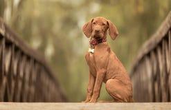 Perro húngaro hermoso del vizsla en el puente de madera imagen de archivo libre de regalías