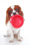 Perro hambriento con el cuenco La foto arrogante linda del perro del perro de aguas de rey Charles en blanco del estudio aisló el Fotos de archivo libres de regalías