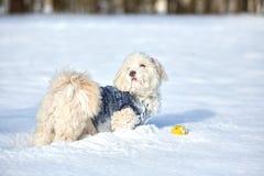 Perro havanese blanco en la nieve Imágenes de archivo libres de regalías