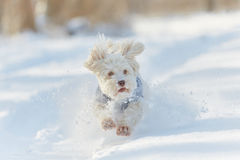 Perro havanese blanco que corre en la nieve Fotos de archivo